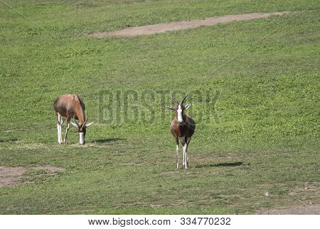Two Adult Blesbok Or Blesbuck Antelope, Damaliscus Pygargus Phillipsi, Brown Animal With Horns, Whit