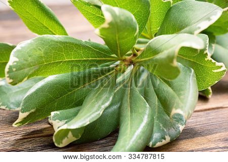 Barberry Thunberg Kornik Branch With Green Leaves Ona Brown Wooden Background.