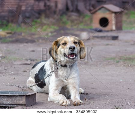Pinto Chain Dog Smiles Against A Wooden Booth