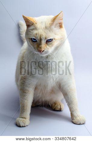 Menacing Sitting Red Cat With Blue Eyes