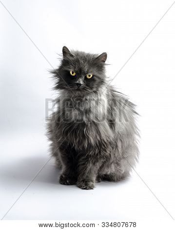 Black Shaggy Longhair Yellow-eyed Cat Looks Reproachfully On Light Background