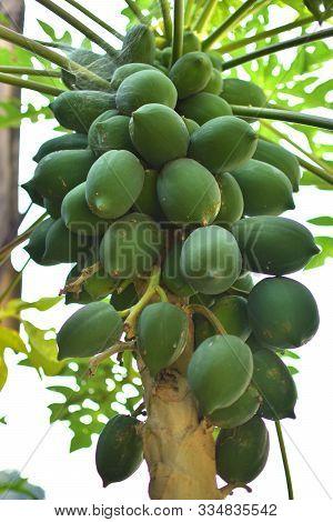 The Papaya (from Carib Via Spanish), Papaw Or Pawpaw Is The Plant Carica Papaya, One Of The 22 Accep
