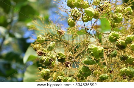 Selective Focus To Teak Seeds And Flower On Teak Tree With Blue Sky Background