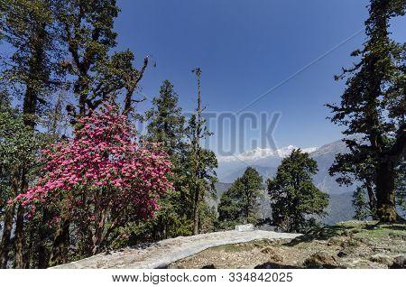 Rhodedandron Bloom Enroute Tungnath At Chopta, Garhwal, Uttarakhand, India