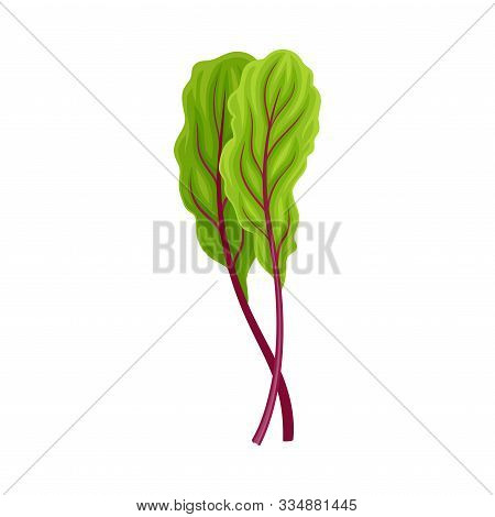 Beet Tops With Fibres Isolated On White Background Vector Illustration