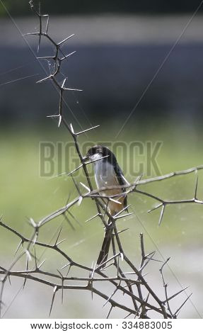 White And Orange Breasted Black Bird On A Thorny Tree