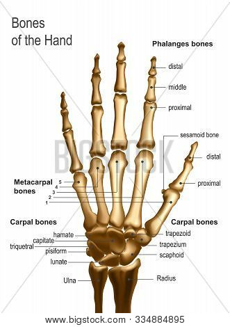 Vector Realistic Frontal Top Image Of Skeleton Of Human Hand Bones With Anotations Name And Descript