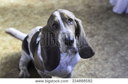 Tricolor Young Beautiful Adorable Basset Hound Sitting Looking At Camera