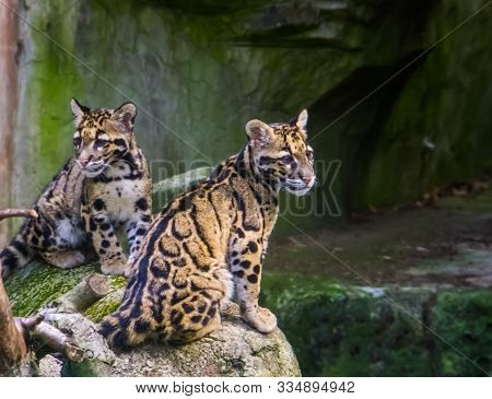 Mainland Clouded Leopard Couple Sitting Together On A Rock, Tropical Wild Cat Specie From The Himala