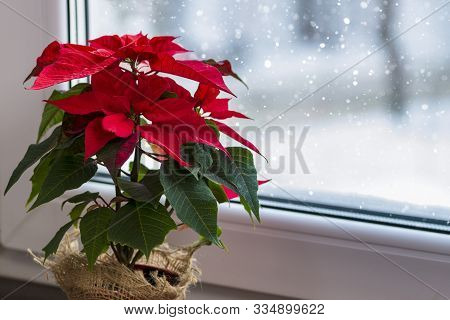 Red Poinsettia, A Traditional Christmas Flower In The Winter Window. Copy Space.