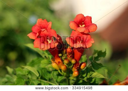 Bee Flying Over Trumpet Vine Or Campsis Radicans Or Trumpet Creeper Or Cow Itch Vine Or Hummingbird