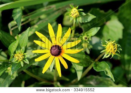 Black-eyed Susan Or Rudbeckia Hirta Or Brown-eyed Susan Or Brown Betty Or Gloriosa Daisy Or Golden J