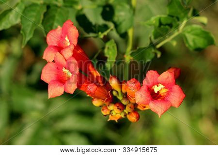 Bunch Of Trumpet Vine Or Campsis Radicans Or Trumpet Creeper Or Cow Itch Vine Or Hummingbird Vine Fl