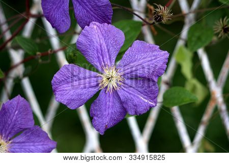 Clematis Or Leather Flower Easy Care Perennial Vine Plant Open Blooming Purple Flower With Leathery