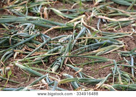 Flopped Over Green Onions Or Scallions Or Spring Onions Or Salad Onions Planted In Local Home Garden