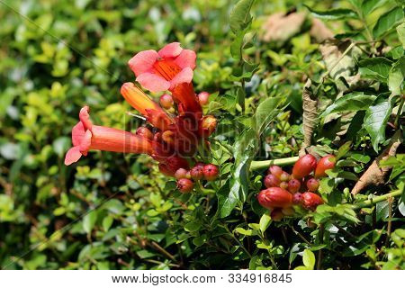 Large Bunch Of Trumpet Vine Or Campsis Radicans Or Trumpet Creeper Or Cow Itch Vine Or Hummingbird V