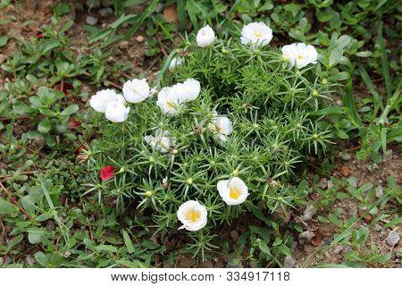 Moss Rose Or Portulaca Grandiflora Or Rose Moss Or Ten Oclock Or Mexican Rose Or Vietnam Rose Or Sun