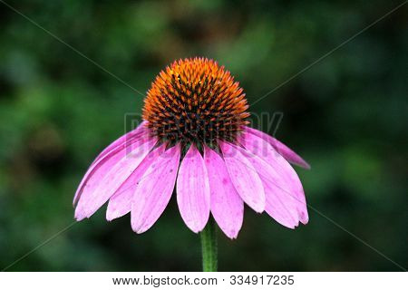 Narrow-leaved Purple Coneflower Or Echinacea Angustifolia Or Blacksamson Echinacea Bright Purple Per