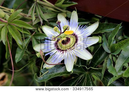 Passion Fruit Or Passiflora Edulis Or Maracuja Or Parcha Or Grenadille Or Fruit De La Passion Open B