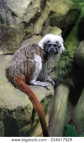 The Cottontop Tamarin (saguinus Oedipus) Also Known As The Pinche Tamarin