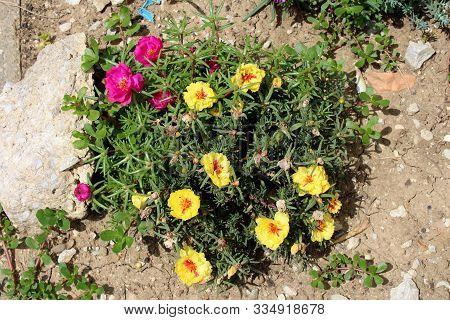 Top View Of Moss Rose Or Portulaca Grandiflora Or Rose Moss Or Ten Oclock Or Mexican Rose Or Vietnam