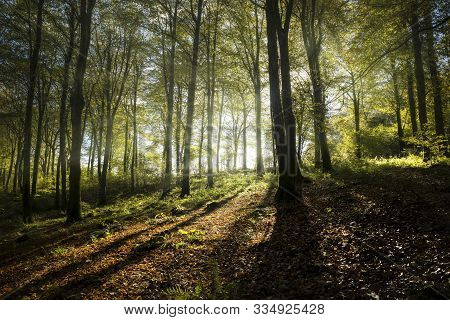 Autumn Beech Woodland With Sunlight Glowing Through Trees, Cornwall, Uk