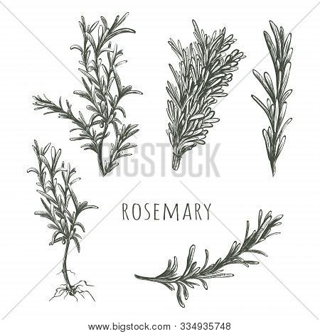 Rosemary Hand Drawing. Rosemary Sketch Vector Illustration. Rosemary Herbs And Spices