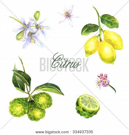 Watercolor Hand-drawn Set Of Citrus With Bergamot And Lemon Isolated On White Background