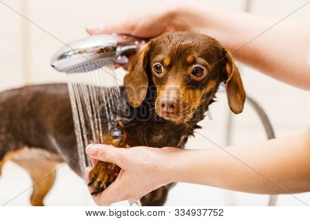 Woman Taking Care Of Her Little Dog. Female Washing, Cleaning Dachshund Under The Shower. Animals Hy