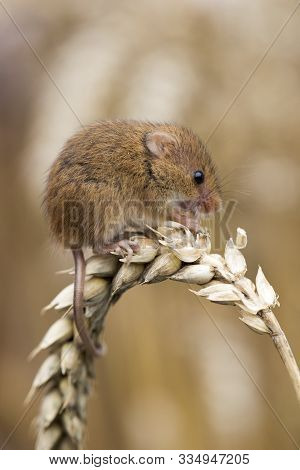 Harvest Mouse Feeding On Ear Of Corn, Cornwall, Uk