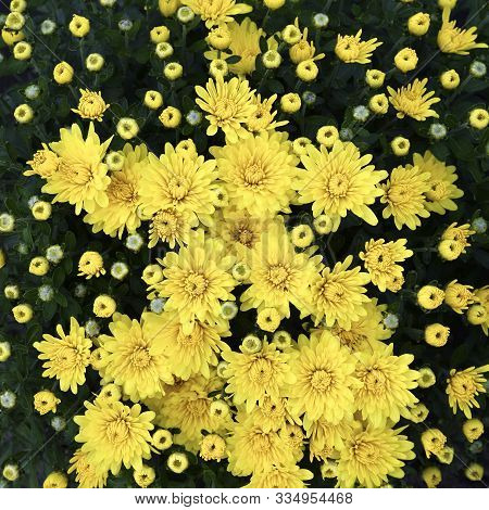 Flowering Yellow Chrysanthemums In Autumn Garden. Chrysanthemum Koreanum. Fall Background With Bloss