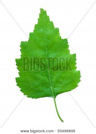 A Leaf Of A Birch