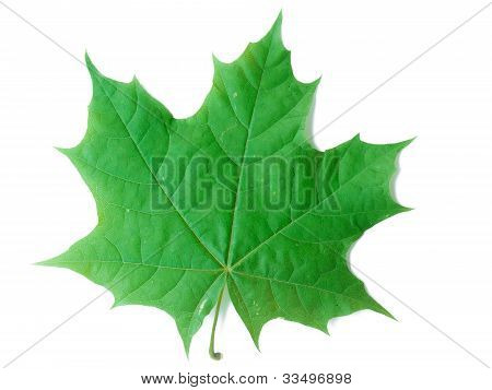 A Leaf Of A Maple Tree