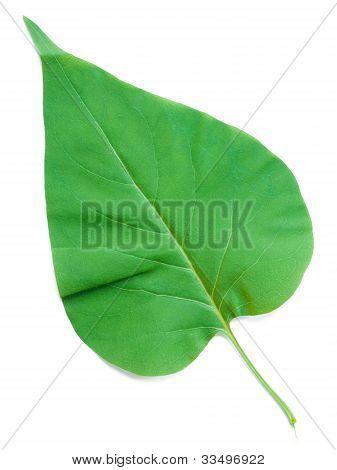 A Leaf Of A Lilac