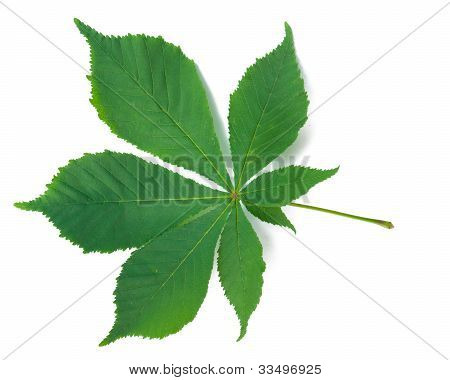 A Leaf Of A Chestnut