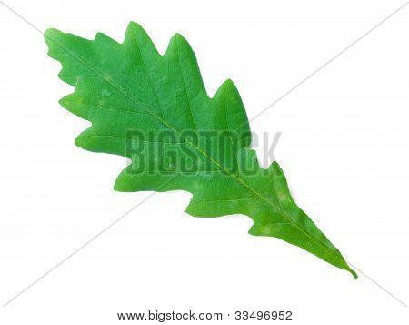 A Leaf Of An Oak