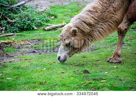A Lying Camouflage Animal, Also Known As Two-humped Or Bactrian Camel, Camelus Ferus