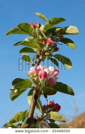 James Grieve apple blossom against a blue sky