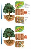 Illustration of how water moves through a tree - absorption, cohesion and transpiration. poster