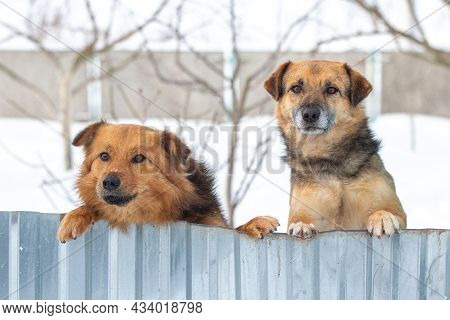 Two Guard Dogs Look Out Because Of The Fence In Winter, Standing On Their Hind Legs. Interesting Fun