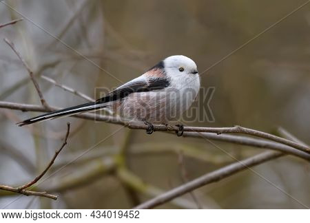 Cute Adult Long-tailed Tit (aegithalos Caudatus) Posing On Tiny Branch In Early Spring