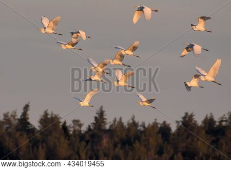 Large Flock Of Great White Egrets (ardea Alba) Fly Over The Forest Edge At Spring Morning