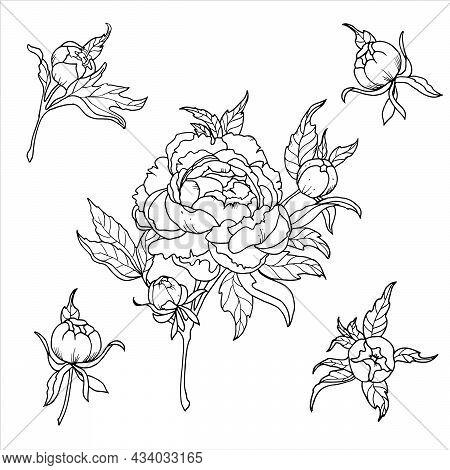 Peony Flowers Set. Monochrome Illustration. For A Beautiful Wedding Invitation. Romantic Study. Crea