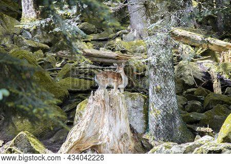 A Deer In A Forest In Aran Park In Aran Valley In Catalonia