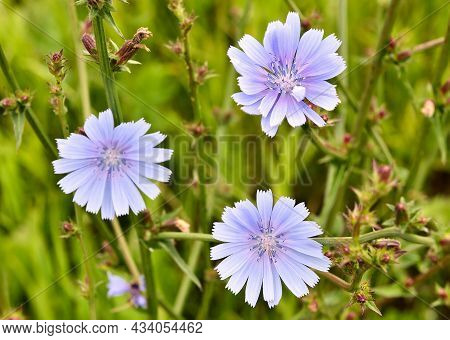 Chicory Blooms On A Blurred Background Of Green Grass In A Meadow, Blue Petals. Cleanliness, Freshne
