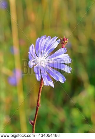 The Chicory Flower. Bright Blue Field Flower On A Stalk Close-up