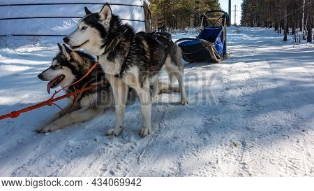 A Pair Of Black And White Siberian Huskies Is Harnessed. The Red Ropes Are Stretched. Dogs Are Resti