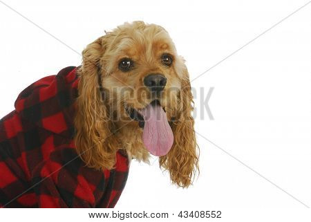 cocker spaniel wearing dog coat looking at viewer isolated on white background poster