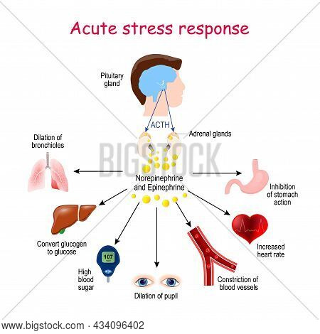 Acute Stress Response. Reaction Of Endocrine System. Hormones (norepinephrine, Epinephrine, Acth), A