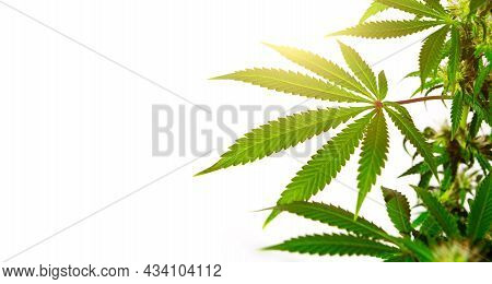 A Cannabis Bush In Bright Light With A White Background. Medicinal Marijuana Leaves Of The Jack Here